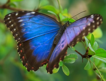 """blue morph butterfly"", butterfly, transformation"
